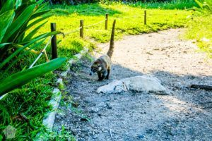 White-nosed coati in Mayan ruins of Tulum in Riviera Maya, Yucatan Peninsula, Mexico in October | FinnsAway Travel Blog