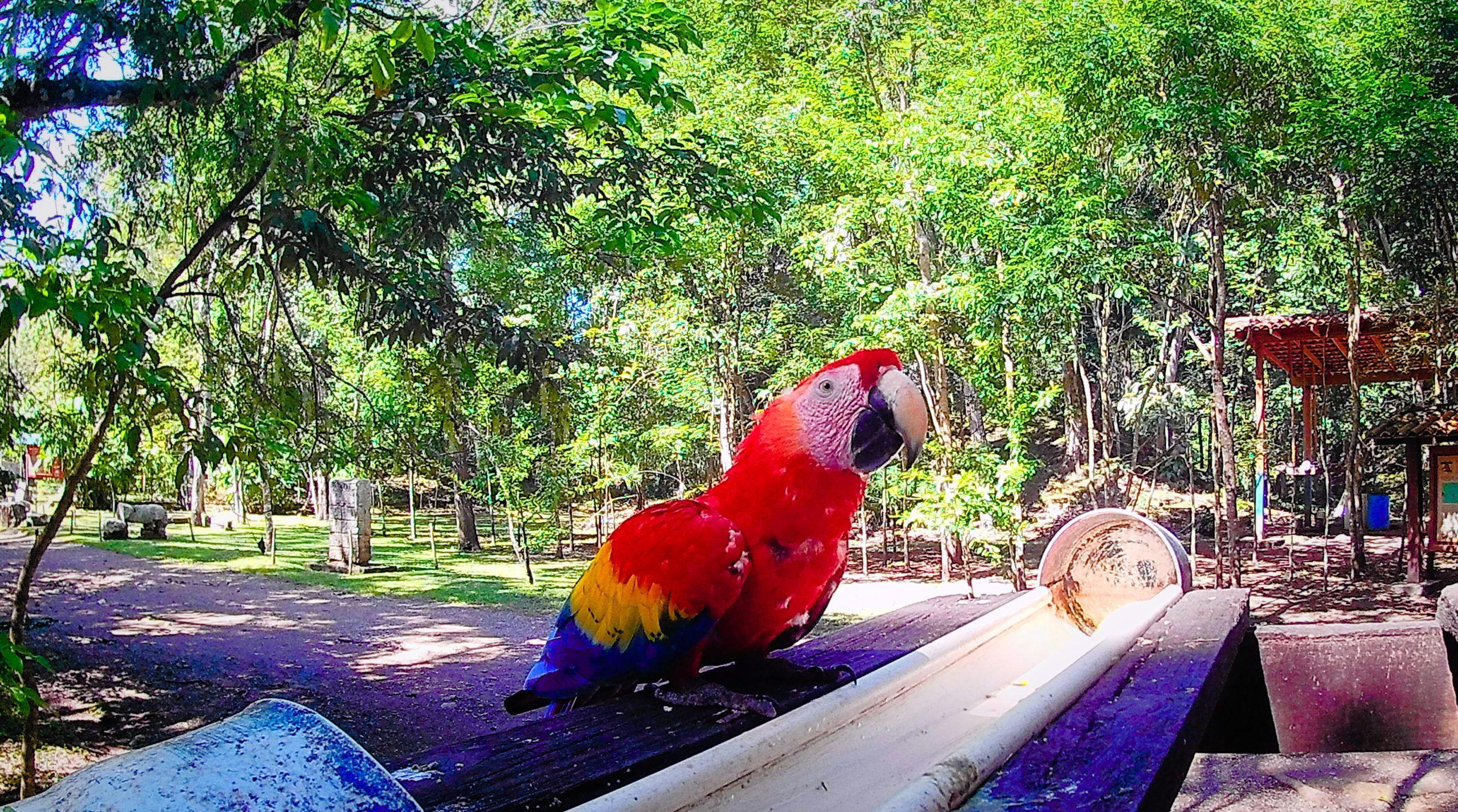 Scarlet Macaw in Copan Mayan ruins, Honduras | FinnsAway Travel Blog