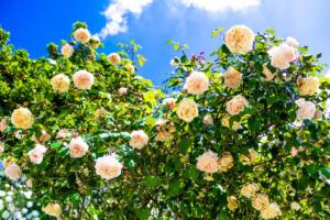 Huge roses in Constancia