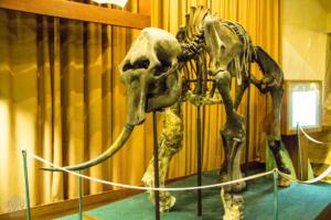 Sopkarga mammoth in Taymyr Regional Museum